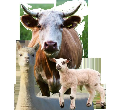 Großtiere (Rind, Lama, Schaf)